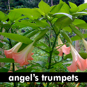 Angel's Trumpets